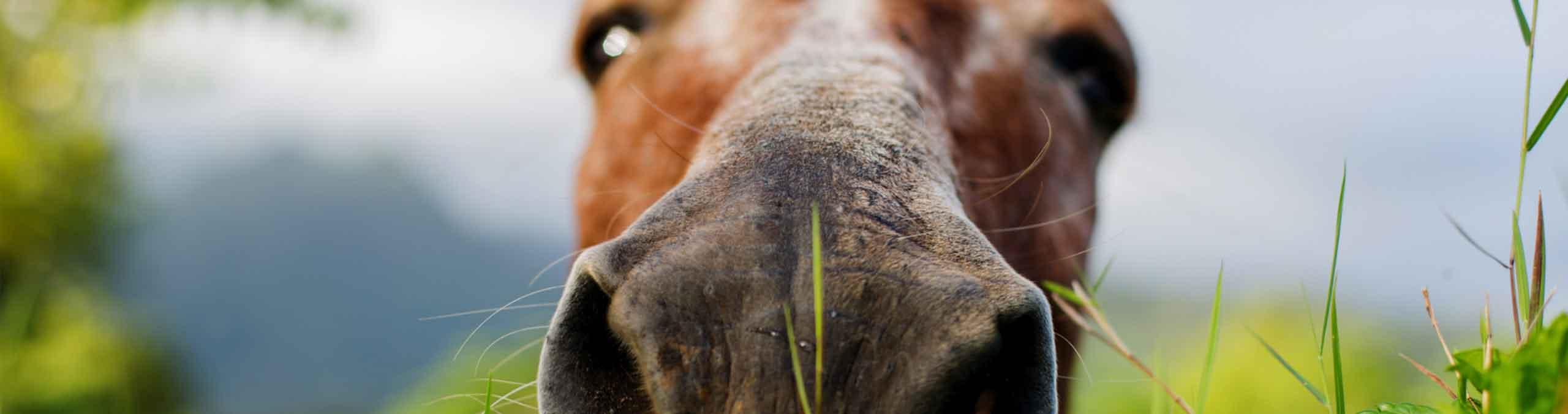 Horse pressing nose on camera